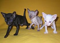 Cornelian cornish rex kittens litter K
