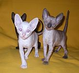 Cornish rex kittens Cornelian