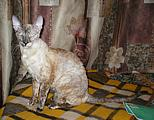 Bella Bravo Cornelian Cornish Rex Cat